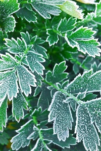 280823-frosty-plants-in-late-fall
